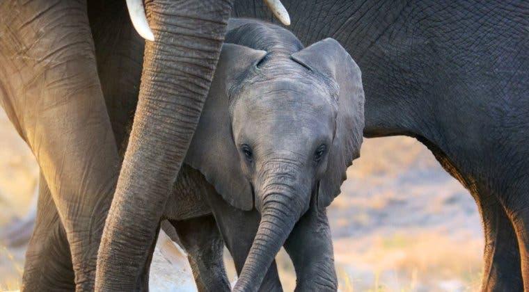 Imagen de Disney Plus estrena Elephant, un documental narrado por Megan Markle